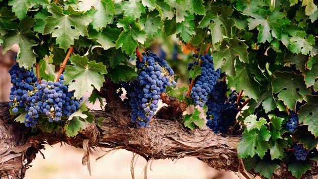 Фото бесплатно виноград, ветка, гроздья