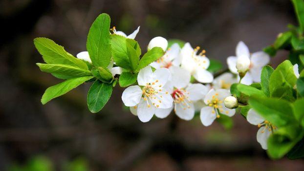 яблоня, цветет, ветка, цветы, белые