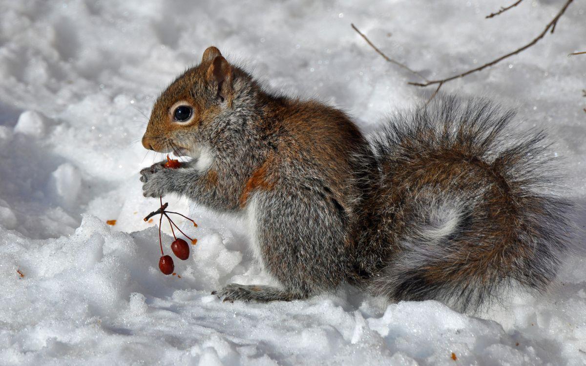 Фото бесплатно зима, ягоды, белка - на рабочий стол