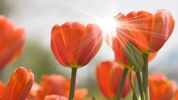 Бесплатные фото лепестки,красные,солнце,луч,цветы