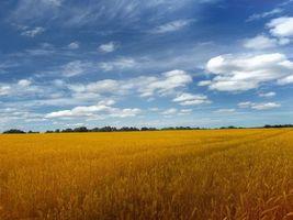 Фото бесплатно поле, пшеница, желтый