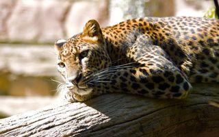 Фото бесплатно леопард, солнце, ветка