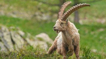 Фото бесплатно горный, козел, рога