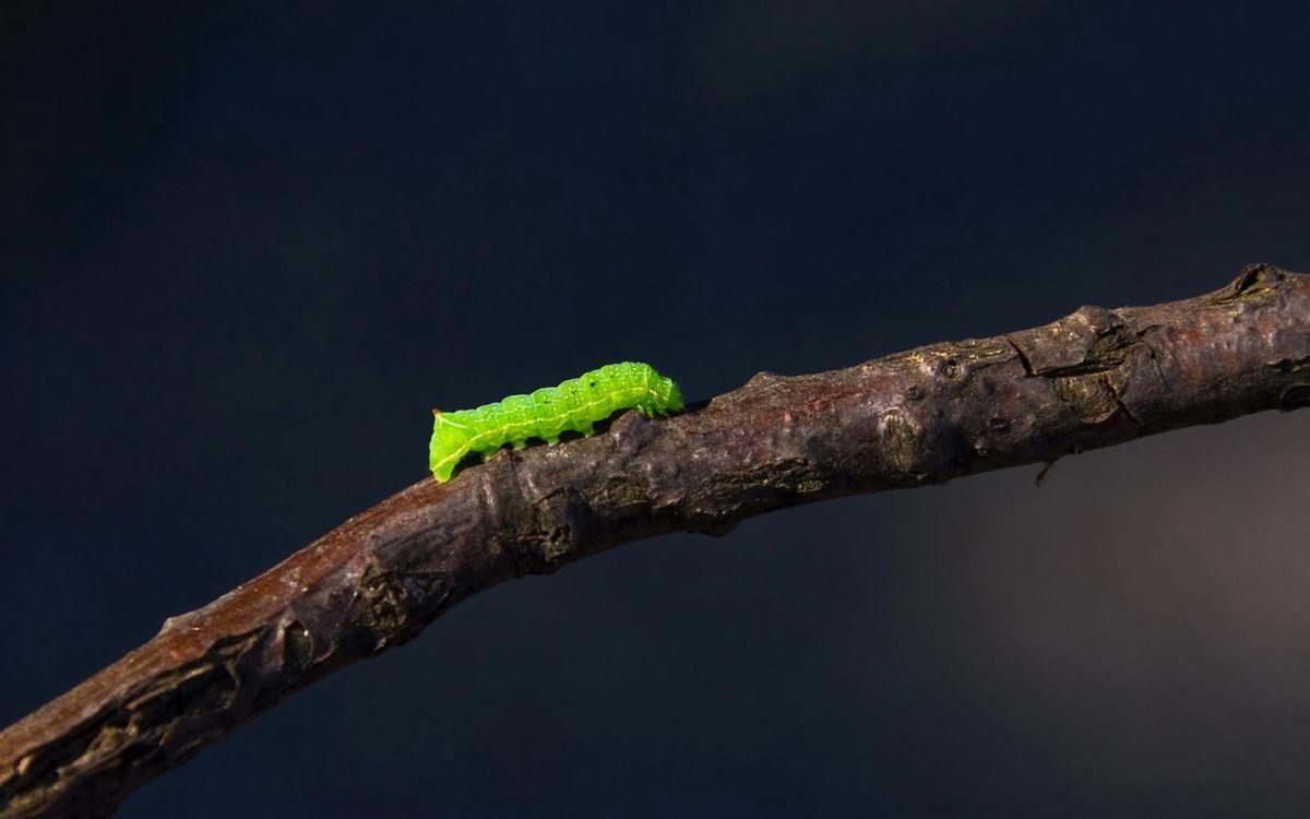 Фото гусеница зеленая личинка - бесплатные картинки на Fonwall