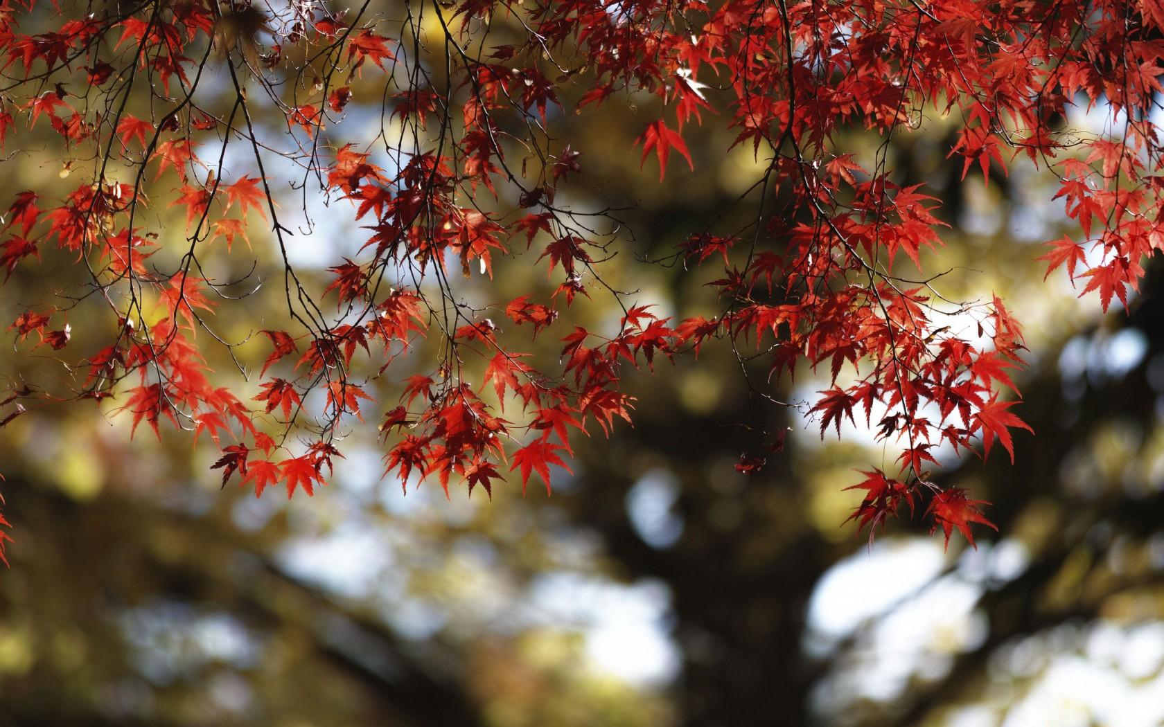 клен, дерево, ветви