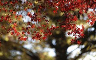 Фото бесплатно клен, дерево, ветви