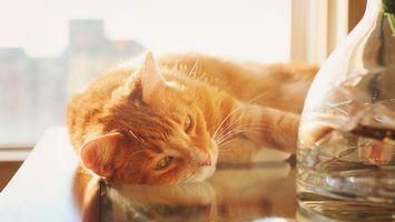 Бесплатные фото кот, рыжий, стол, отдых, солнце, кошки