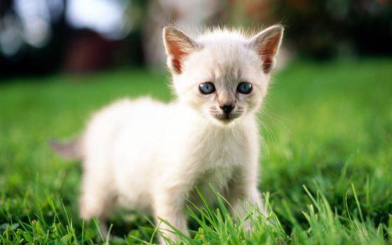 Фото бесплатно котенок, пушистый, глаза уши