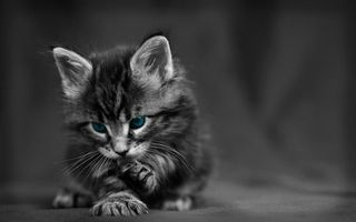Заставки котенок, серый, лапки