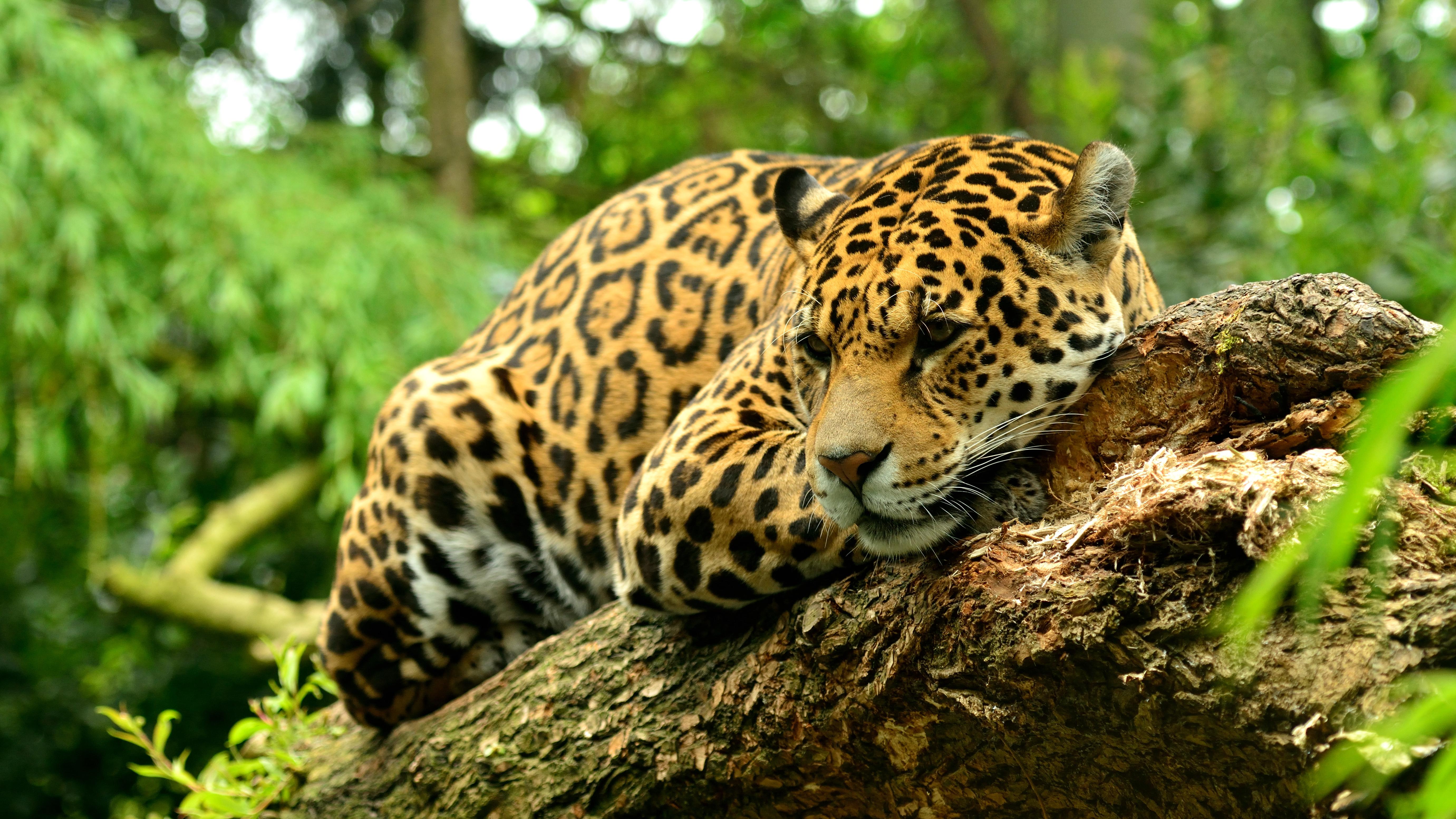 Обои леопард, хищник, зверь, животное