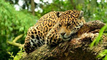 Фото бесплатно животные, леопард, зверь