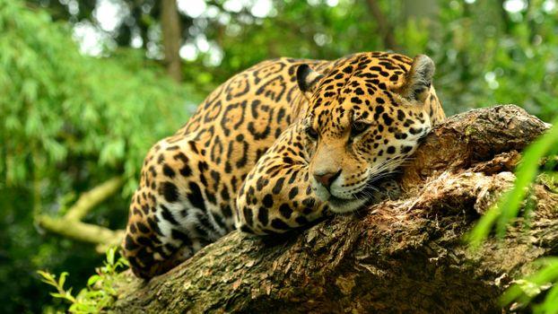 Заставки леопард, хищник, зверь