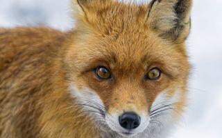 Фото бесплатно лиса, уши, глаза, усы, взгляд, шерсть, хищник, нос, животные