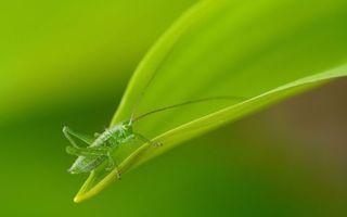 Бесплатные фото лист,кузнечик,зеленый,лапки,усы,насекомые