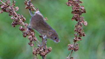 Фото бесплатно мышь, серая, дерево