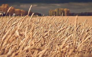 Бесплатные фото поле,колос,пшеница,хлеб,деревья,небо,природа