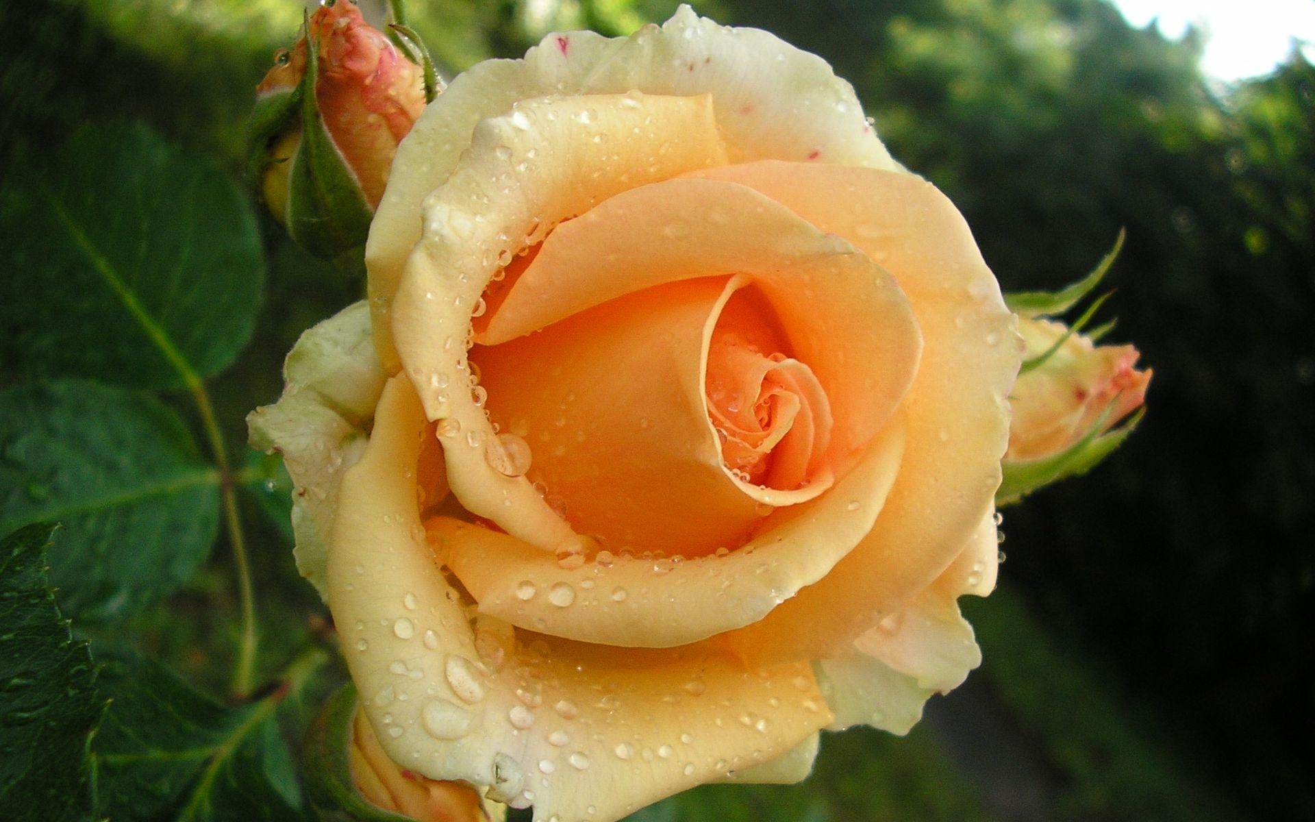 роза, желтая, лепестки
