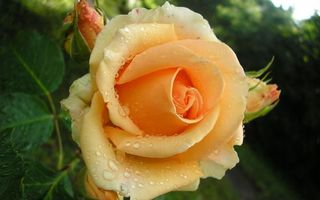 Бесплатные фото роза,желтая,лепестки,капли,вода,роса,бутоны
