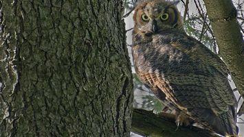 Фото бесплатно сова, глаза, дерево