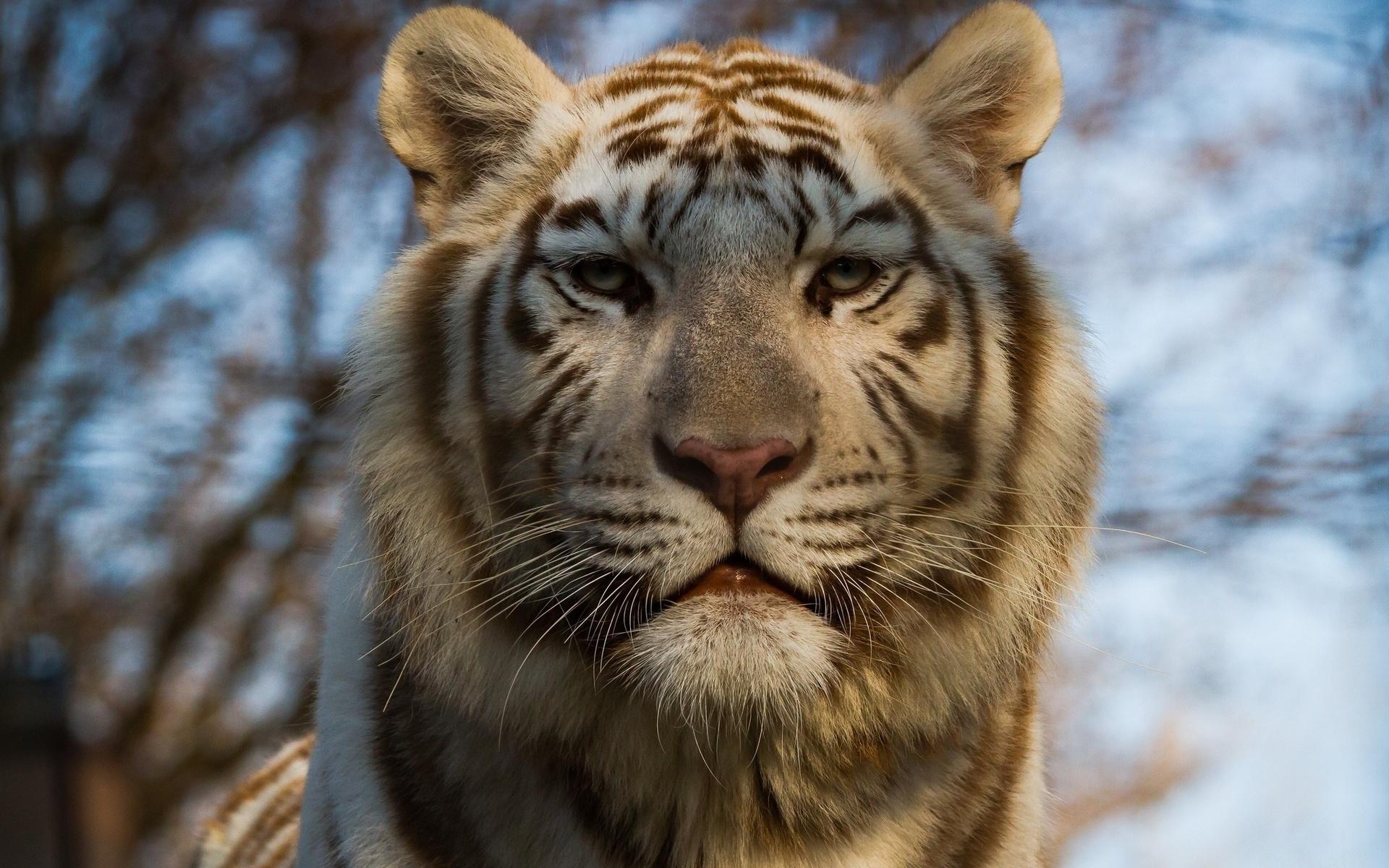 Обои на рабочий стол глаза тигра