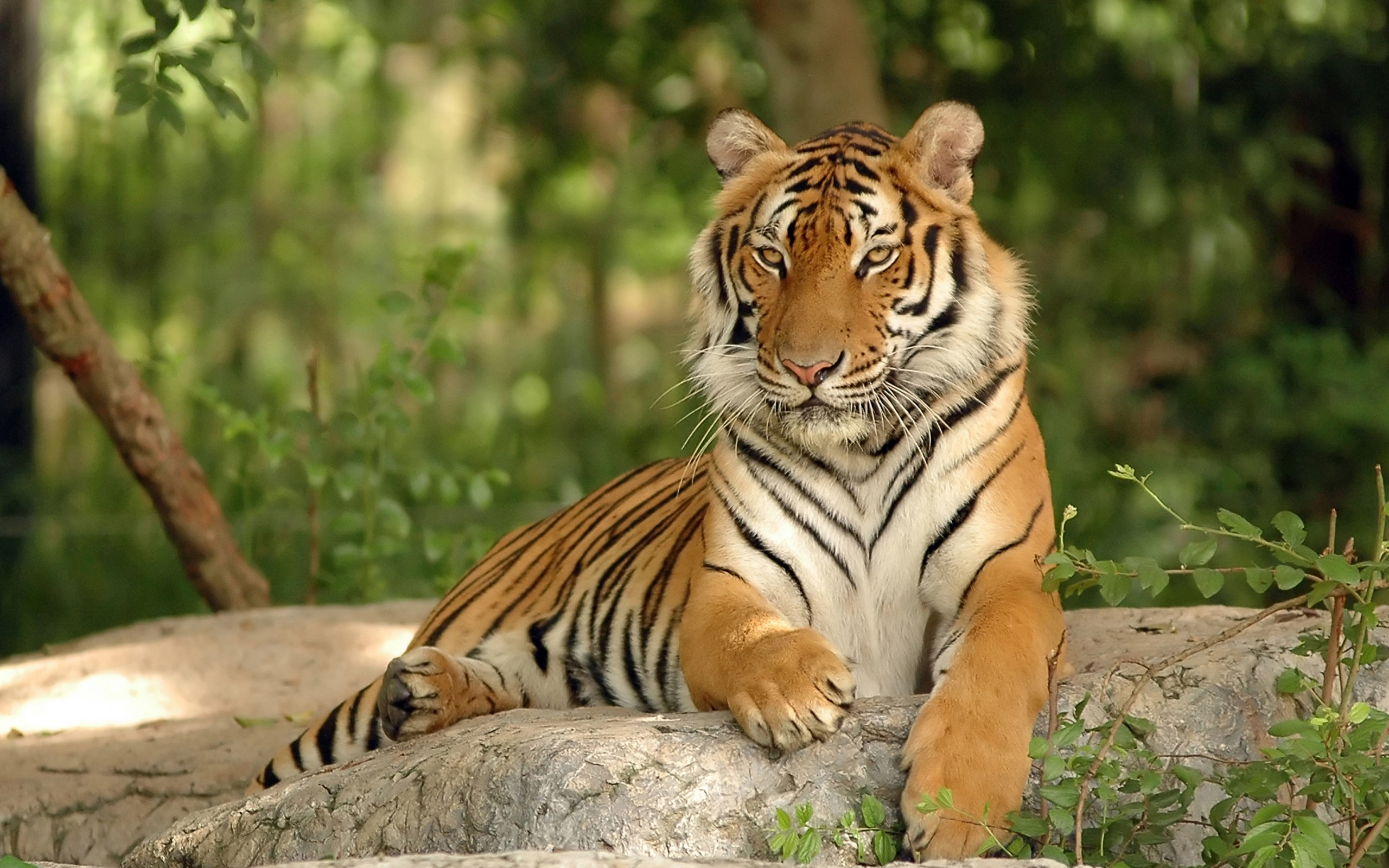 тигр, животное, хищник