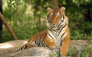 Фото бесплатно тигр, животное, хищник, полосатый, камень, деревья, кошки