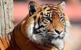 Бесплатные фото тигр,шерсть,усы,голова,глаза,зверь,хищник