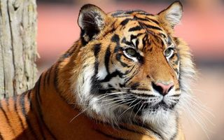 Photo free tiger, wool, mustache