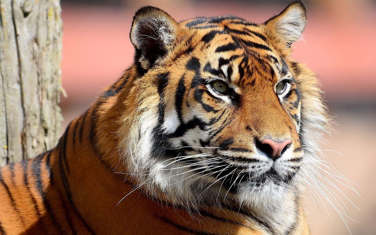 Фото бесплатно тигр, шерсть, усы - на рабочий стол