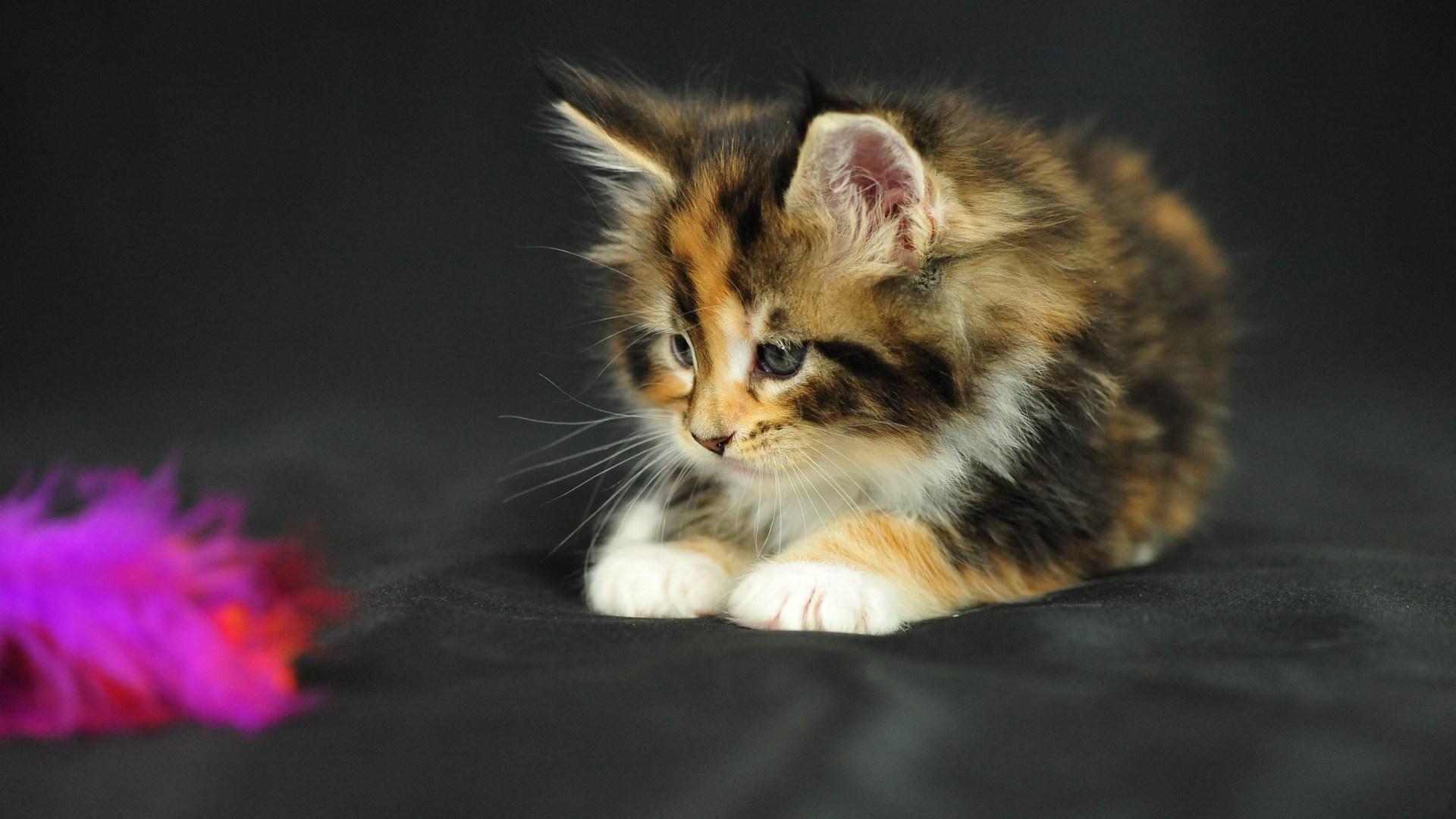 Обои котенок, маленький, пушистый, разноцветный