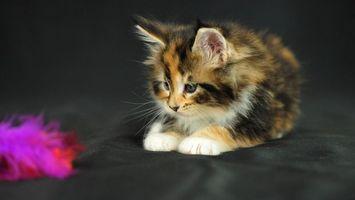Бесплатные фото котенок,маленький,пушистый,разноцветный,играет,кошки