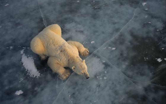 Бесплатные фото медведь,арктика,океан,лед,без снега,лежит,животные