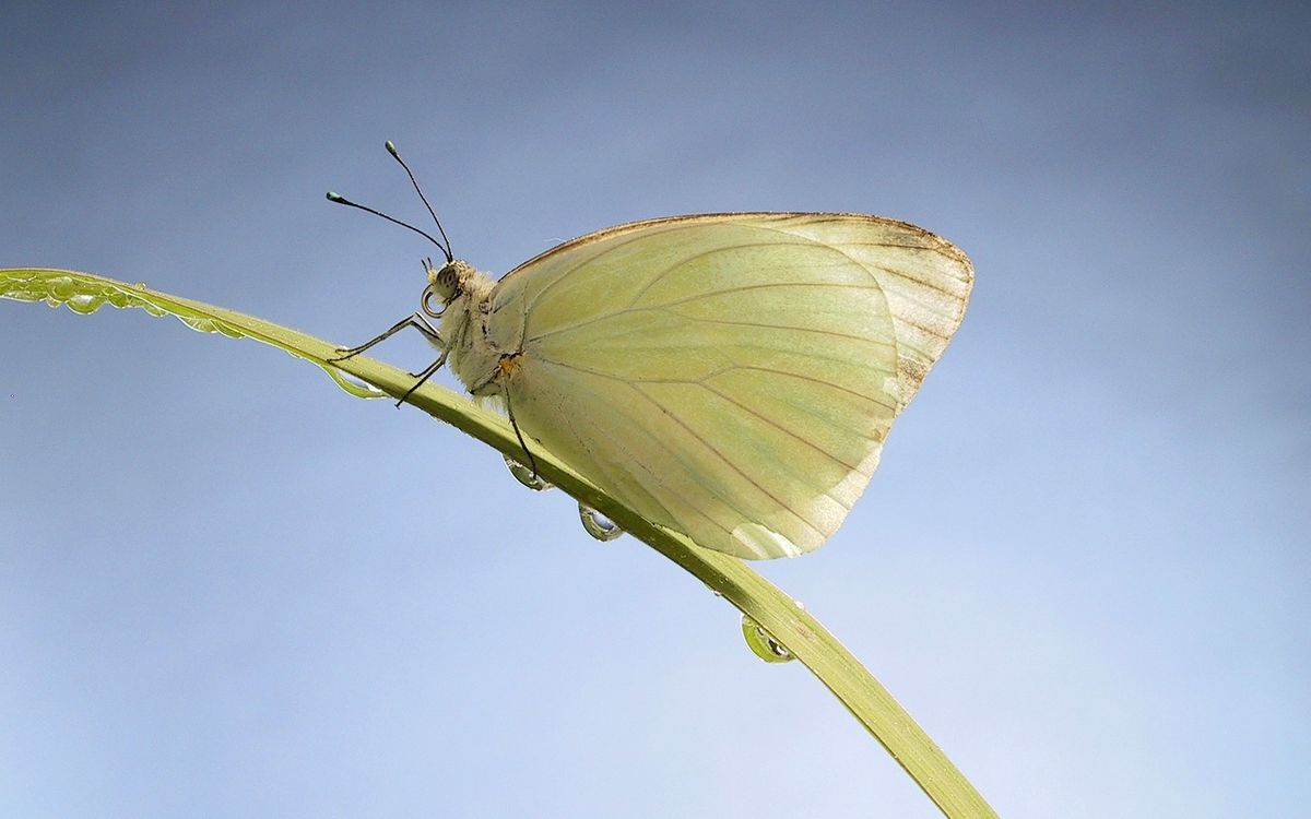 Фото бесплатно бабочка, крылья, лапки, хобот, трава, капли, вода, насекомые, насекомые
