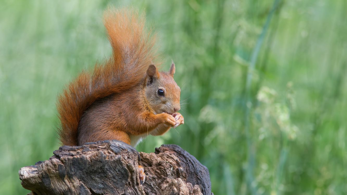 Photos for free red, animal, rodent - to the desktop