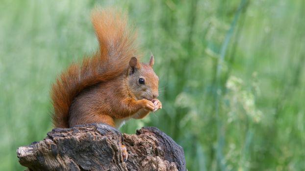 Фото бесплатно красный, животное, грызун