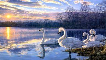 Бесплатные фото darrell bush,чудесный мир природы,белые,лебеди,озеро,закат,солнце