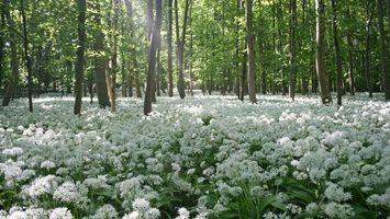 Фото бесплатно лес, деревья, листва, трава, цветы, белые, природа