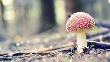 Обои мухомор, гриб, шляпка, ножка, лес, опушка, место, трава, мох, иголки, природа, разное