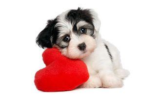 Фото бесплатно щенок, сердце, морда