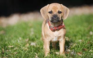 Бесплатные фото щенок,маленький,пес,уши,лапки,глаза,усы