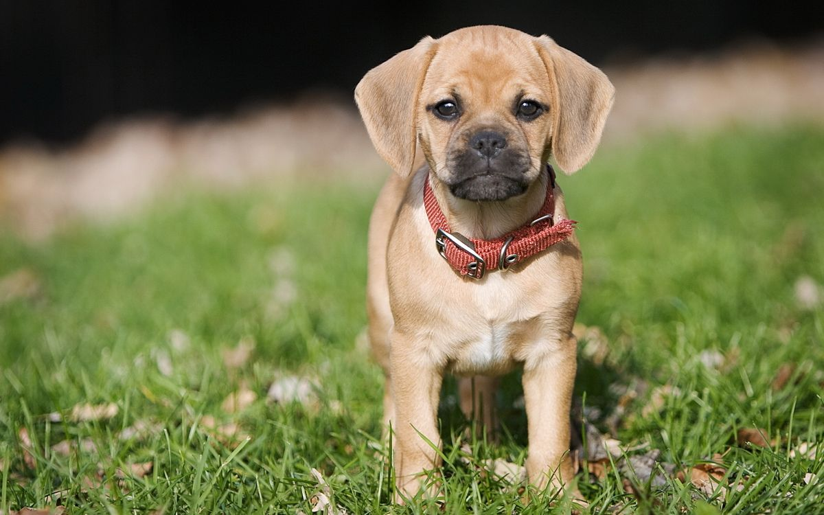 Фото бесплатно щенок, маленький, пес - на рабочий стол