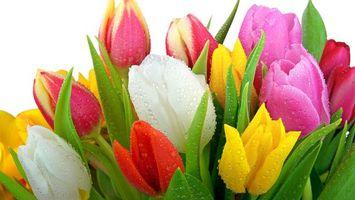 Бесплатные фото тюльпаны,роса,капли,вода,лепестки,листья,аромат