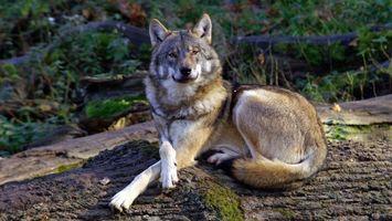 Бесплатные фото волк,серый,лапы,когти,нос,глаза,взгляд