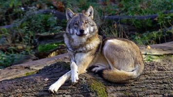 Photo free wolf, gray, paws