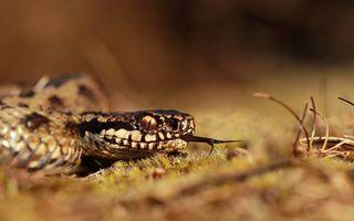 Бесплатные фото змея,кобра,гадюка,кожа,язык,глаза,трава