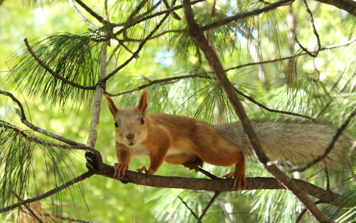 Фото бесплатно белка, уши, лапы, хвост, пушистый, деревья, ветки, животные, животные