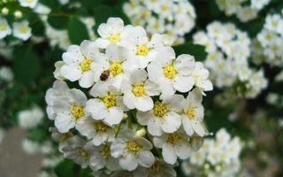 Фото бесплатно бутоны, ветки, куст, белые, большие, гроздья, сад, клумба, цветы