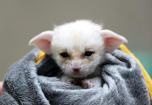 Фото бесплатно щенек, лисёнок, детёныш