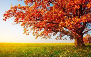 Фото бесплатно клен, дерево, поле, осень, трава, листья, оранжевые, небо, голубое, тепло, свет, солнце, ветки, горизонт, природа