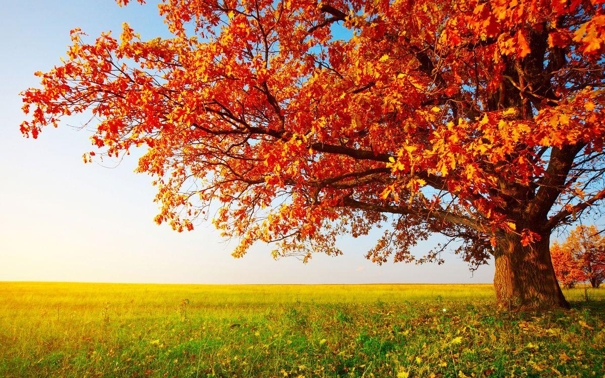 Фото бесплатно клен, дерево, поле, осень, трава, листья, оранжевые, небо, голубое, тепло, свет, солнце, ветки, горизонт, природа, природа